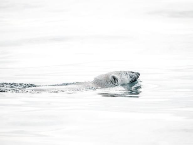 すみかとする海氷を探すホッキョクグマ